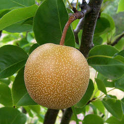 Pyrus pyrifolia Chinese Sand Pear, Sand Pear, Japanese Pear, Asian Pear, Oriental Pear, Chinese Pear seed for sale