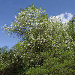 Halesia tetraptera  monticola Mountain Silverbell, Mountain Snow Drop seed for sale