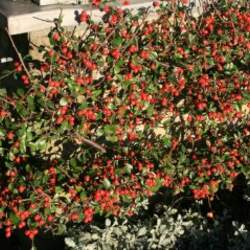 Cotoneaster simonsii     clean seed Simon's Cotoneaster, Himalayan Cotoneaster seed for sale