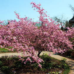 Prunus sargentii Sargent Cherry, Sakura seed for sale