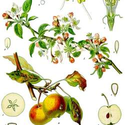 Malus pumila  Bittenfelder Bittenfelder Apple seed for sale