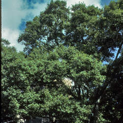 Quercus nigra Water Oak, Spotted Oak, Duck Oak, Punk Oak, Orange Oak, Possum Oak seed for sale