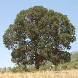 Quercus douglasii Blue Oak seed for sale