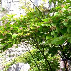 Cornus rugosa Roundleaved Dogwood, Roundleaf Dogwood seed for sale