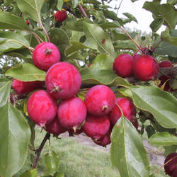 Malus sp   Dolgo Dolgo Crab Apple seed for sale