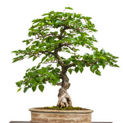 Carpinus laxiflora Loose-flower Hornbeam seed for sale
