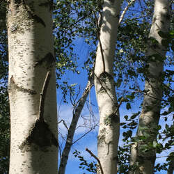 Betula populifolia Gray Birch seed for sale