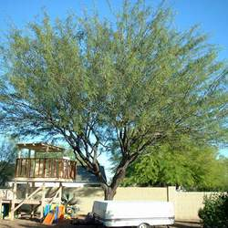 Prosopis chilensis Chilean Mesquite, Algarrobo seed for sale