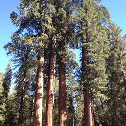 Sequoiadendron giganteum Giant Sequoia, Bigtree, Sierra Redwood, Wellingtonia, Sierran Redwood seed for sale