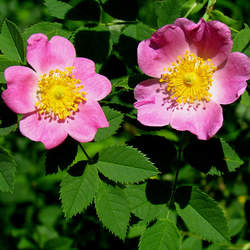 Rosa carolina Pasture Rose, Carolina Rose seed for sale