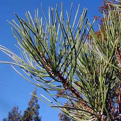 Pinus washoensis Washoe Pine seed for sale