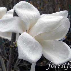 Magnolia biondii Chinese Willow Leaf Magnolia, Hope of Spring Magnolia, Biond's Magnolia seed for sale