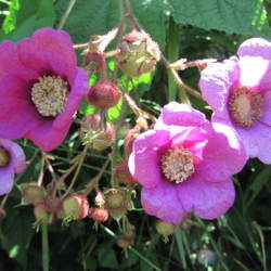 Rubus odoratus Purple-flowering Raspberry, Purpleflowering Raspberry seed for sale