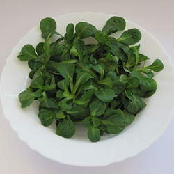 Valerianella locusta Lewiston Cornsalad, Common Cornsalad, Lamb's Lettuce, Corn Salad, Rapunzel, Field Salad seed for sale