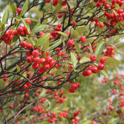 ARONIA arbutifolia Red Chokeberry seed for sale