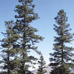 Abies squamata Barked Fir, Flaky Fir seed for sale