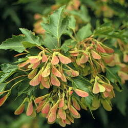 ACER tataricum ginnala Amur Maple seed for sale