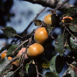 Diospyros virginiana Common Persimmon seed for sale