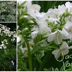 Polemonium caeruleum   Album Jacobs Ladder, Charity seed for sale