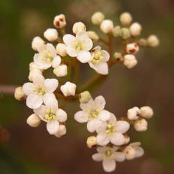 Viburnum obovatum Walter's Viburnum, Small-leaf Arrowwood seed for sale