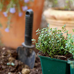 Thymus vulgaris Garden Thyme seed for sale