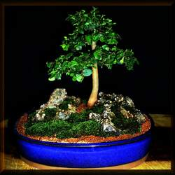 Celtis africana African Hackberry, White Stinkwood seed for sale