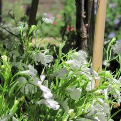 Lobelia siphilitica  Alba White Lobelia, Great White Blue Lobelia, White Cardinal Flower seed for sale