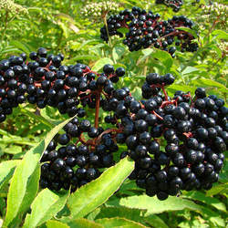 Sambucus canadensis American Elder, Elderberry, Common Elder, Sweet Elder, Blackberry Elder, American Elderberry seed for sale