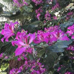 Bauhinia purpurea Purple Bauhinia, Butterfly Tree, Hong Kong Orchid Tree, Purple Camel's Foot, Hawaiian Orchid Tree seed for sale