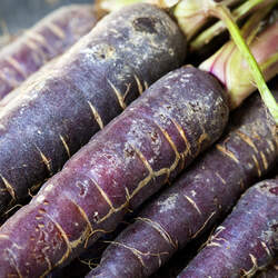 Daucus carota sativus  Purple Purple Carrot seed for sale