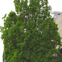 Quercus robur   Fastigiata English Upright Oak, Upright English Oak seed for sale