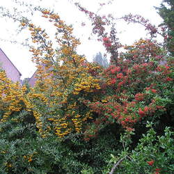 Pyracantha coccinea     clean seed Firethorn, Scarlet Firethorn seed for sale