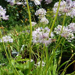 Allium senescens Ornamental Onion, German Garlic, Curley Chives seed for sale