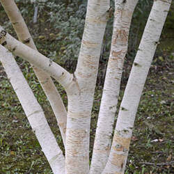 Betula costata Korean Birch, Chinese Birch seed for sale