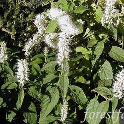 Elsholtzia stauntonii  F. Alba White Mint Shrub, White Mint Bush seed for sale