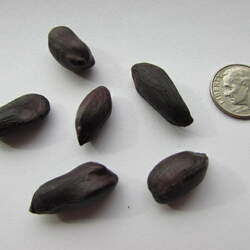 Arachis hypogaea  Black Black-skinned Peanut, Black Peanut seed for sale