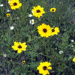 Coreopsis basalis Goldenmane Tickseed seed for sale