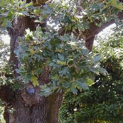 Quercus garryana Oregon White Oak seed for sale
