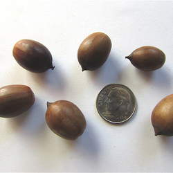 Quercus glauca Ring-cupped Oak, Ring-cup Oak seed for sale