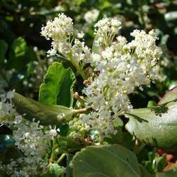 Ceanothus velutinus Buck Brush, Snowbrush Ceanothus, Red Root, Tobacco Brush seed for sale