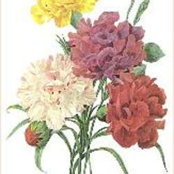 Dianthus caryophyllus   Grenadin Mix Grenadin Mix Carnation seed for sale