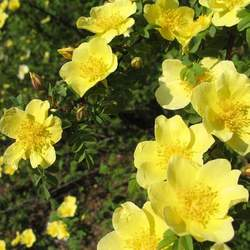 Rosa xanthina Manchu Rose, Yellow Rose seed for sale