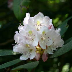 Rhododendron maximum Rosebay, Great Laurel, Rosebay Rhododendron seed for sale