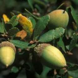Quercus berberidifolia Scrub Oak seed for sale