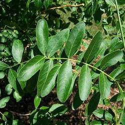 Gleditsia caspia Caspian Locust, Persian Honey Locust seed for sale