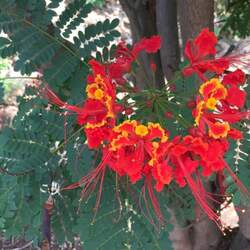 Caesalpinia pulcherrima Pride Of Barbados, Peacock Flower, Dwarf Poinciana, Barbados Flower Fence seed for sale