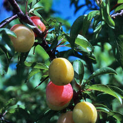 Prunus angustifolia Chickasaw Plum, Sand Plum, Sandhill Plum seed for sale