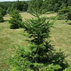 Abies nephrolepis Manchurian Fir seed for sale