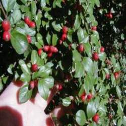 Cotoneaster divaricatus Spreading Cotoneaster seed for sale