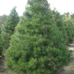 Pinus virginiana     Improved Improved Virginia Pine seed for sale